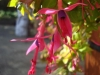 Fuchsias in bloom